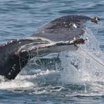 Ropes entangled a humpback whale?s flukes near Provincetown.